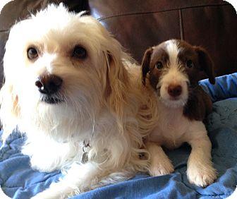 Coton de Tulear Mix Puppy for adoption in Carlsbad, California - Ron