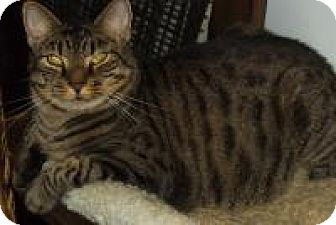 Domestic Shorthair Cat for adoption in Bear, Delaware - Cool Boy