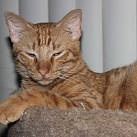 Domestic Shorthair Cat for adoption in Mesa, Arizona - Tiger