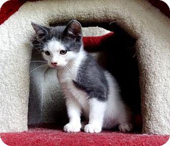 Domestic Shorthair Kitten for adoption in Lathrop, California - Chaser