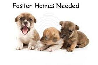 Labrador Retriever Mix Puppy for adoption in Randolph, New Jersey - FOSTER A Pup & Save a Life!