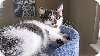 Domestic Shorthair Kitten for adoption in Columbus, Ohio - Leela