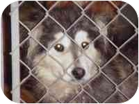 """Eskimo Dog Mix Puppy for adoption in Various Locations, Indiana - """"Urgent Eskie Pup"""""""