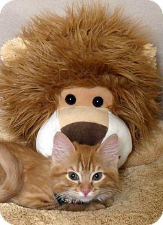 Domestic Longhair Kitten for adoption in Kerrville, Texas - Flynn Rider