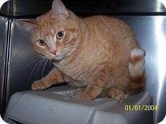 Domestic Shorthair Cat for adoption in Detroit Lakes, Minnesota - Thomas