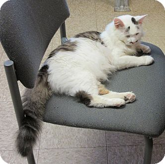 Domestic Shorthair Cat for adoption in Glenwood, Minnesota - Francis