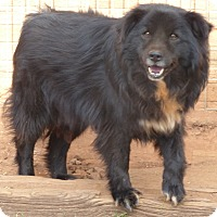Border Collie/Chow Chow Mix Dog for adoption in Anderson, South Carolina - Bear/pending