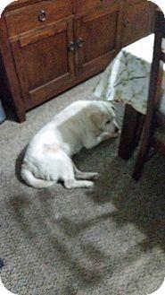Labrador Retriever Mix Dog for adoption in Willis, Texas - Snowball