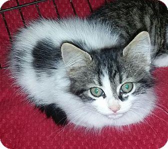 Domestic Shorthair Kitten for adoption in temecula, California - Dash