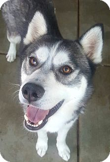 Siberian Husky Dog for adoption in Apple valley, California - Lyle