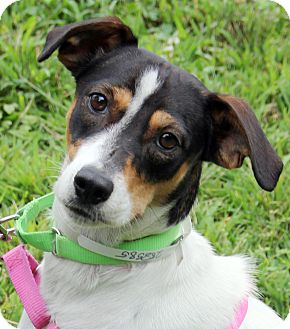 Terrier (Unknown Type, Small) Mix Dog for adoption in Harrison, New York - Benny