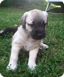 Labrador Retriever Mix Puppy for adoption in Iowa, Illinois and Wisconsin, Iowa - Tigress