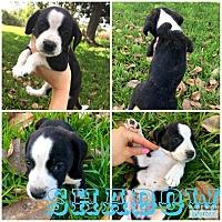 Adopt A Pet :: Shadow - Smithtown, NY