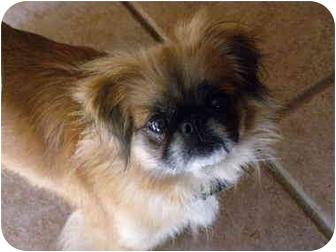 Pekingese Dog for adoption in Cocoa, Florida - Fancy