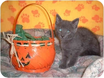 Domestic Shorthair Kitten for adoption in Honesdale, Pennsylvania - Jo Jo