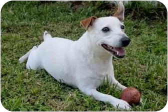 Jack Russell Terrier Dog for adoption in Terra Ceia, Florida - ENZO