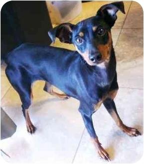 Miniature Pinscher Dog for adoption in Gilbert, Arizona - Bambi