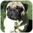 Photo 1 - Pug Dog for adoption in League City, Texas - Oliver