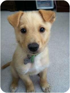 Golden Retriever Mix Puppy for adoption in Nanuet, New York - Porter