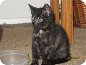 Domestic Shorthair Kitten for adoption in Portland, Oregon - Sable