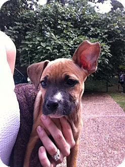 Boxer/Mountain Cur Mix Puppy for adoption in Cranford, New Jersey - Lefty