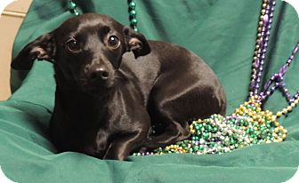Chihuahua/Dachshund Mix Dog for adoption in Hammond, Louisiana - Olive
