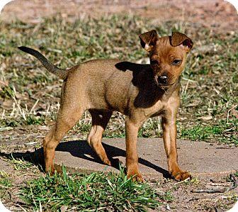 Miniature Pinscher Mix Puppy for adoption in Greensboro, Georgia - ike