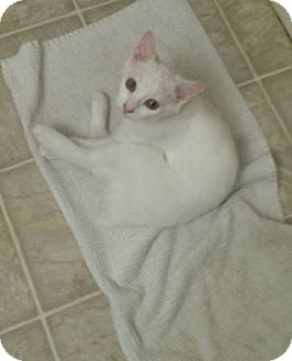 Manx Kitten for adoption in Dallas, Texas - Ice Princess
