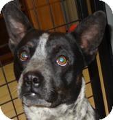 Boston Terrier/Blue Heeler Mix Dog for adoption in Hartford, Kentucky - Reggie