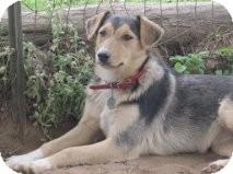 German Shepherd Dog/Corgi Mix Puppy for adoption in Olympia, Washington - Lena