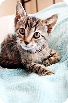 Domestic Shorthair Kitten for adoption in Xenia, Ohio - Jeeves