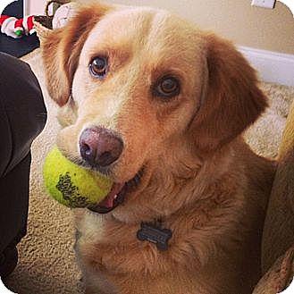 Golden Retriever Mix Dog for adoption in Rochester, New York - Dixie
