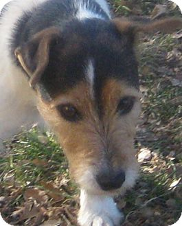 Jack Russell Terrier Dog for adoption in Austin, Texas - Jude in Amarillo
