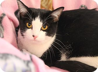 Domestic Shorthair Cat for adoption in Chattanooga, Tennessee - Puss Tail