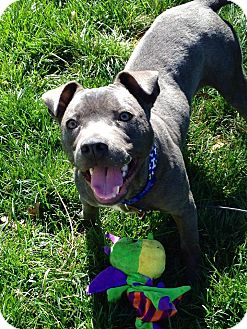 American Pit Bull Terrier Puppy for adoption in Chattanooga, Tennessee - Gideon