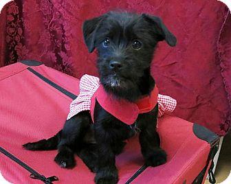 Schnauzer (Standard)/Dachshund Mix Puppy for adoption in High Point, North Carolina - Inky
