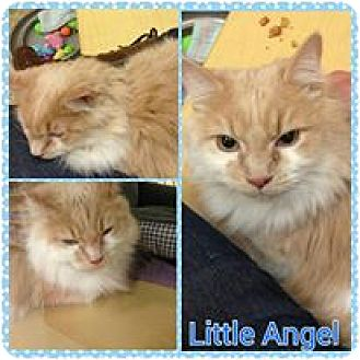Domestic Shorthair Cat for adoption in Winchester, Virginia - Little Angel
