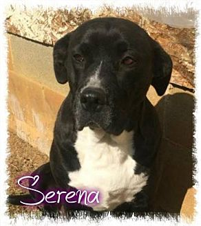 Labrador Retriever/American Pit Bull Terrier Mix Dog for adoption in Crandall, Georgia - Serena