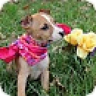 Pit Bull Terrier/Cattle Dog Mix Puppy for adoption in Washington, D.C. - Roo (pom-dc)