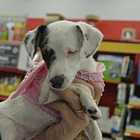Dachshund/Chihuahua Mix Puppy for adoption in Lodi, California - peaches