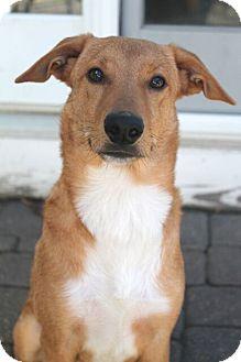 Shepherd (Unknown Type)/Retriever (Unknown Type) Mix Puppy for adoption in Mt. Prospect, Illinois - Bert