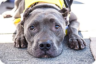 Pit Bull Terrier Mix Dog for adoption in La Habra, California - Bowie