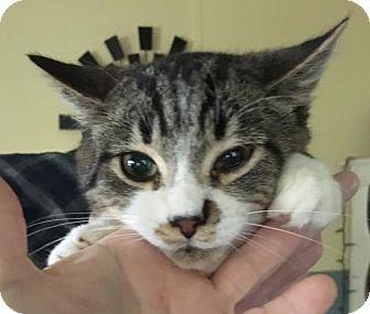 Domestic Shorthair Cat for adoption in Caro, Michigan - Tiny Tim