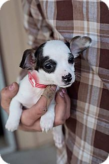 Boston Terrier/Chihuahua Mix Puppy for adoption in Boerne, Texas - Sweeney