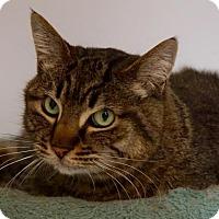Domestic Shorthair Cat for adoption in Scituate, Massachusetts - PJ