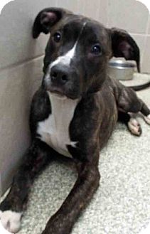 American Staffordshire Terrier Mix Dog for adoption in Hinsdale, Illinois - ADOPTED!!!   Jimmy