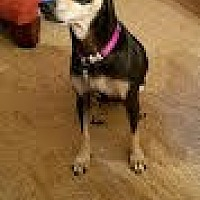 Miniature Pinscher/Chihuahua Mix Dog for adoption in Athens, Georgia - Madison (Madi)