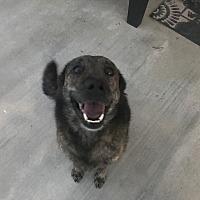 Shepherd (Unknown Type) Dog for adoption in Palmdale, California - Bear