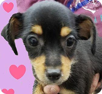 Chihuahua/Dachshund Mix Puppy for adoption in Lexington, Kentucky - Autumn
