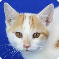 Domestic Shorthair Kitten for adoption in Pagosa Springs, Colorado - Colby